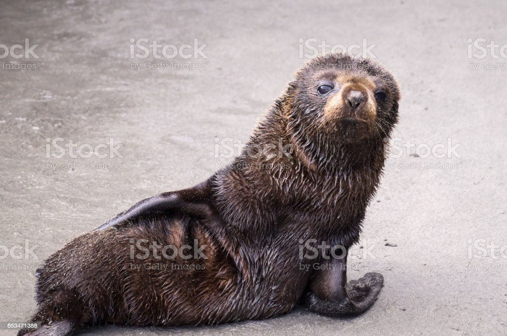 Baby seal on beach stock photo