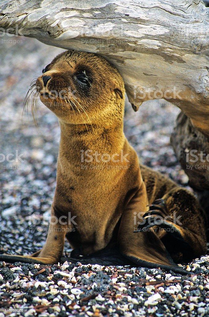 Baby Seal stock photo