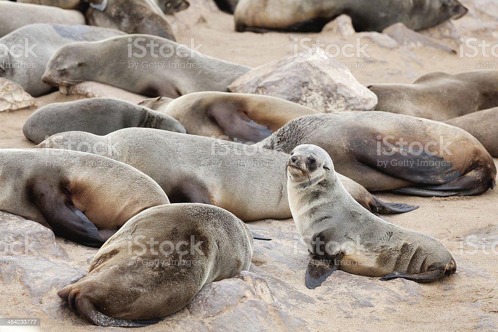 baby seal royalty-free stock photo
