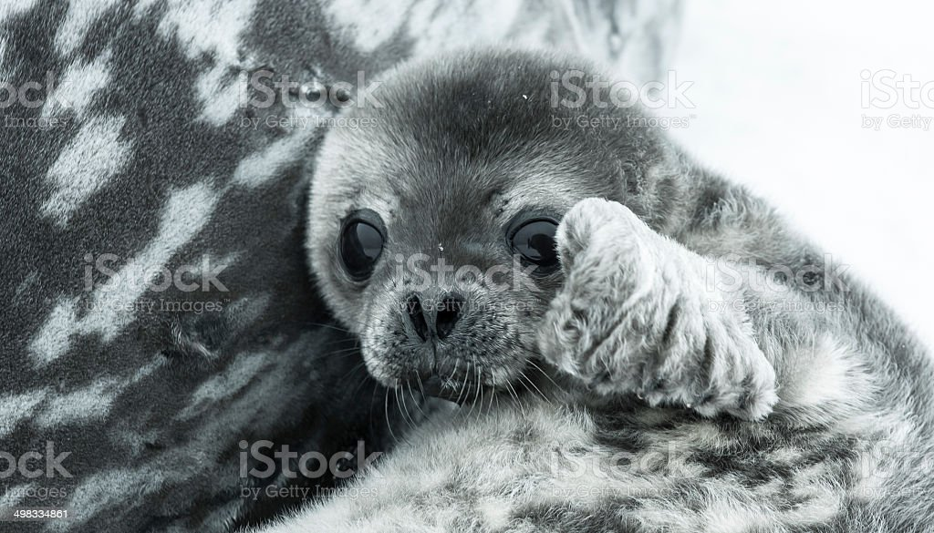 Baby seal stock photo