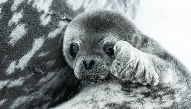 Baby seal baby seal in Antarctica. close up portraitBaby seal close to his mom. Antarctica seal pup stock pictures, royalty-free photos & images