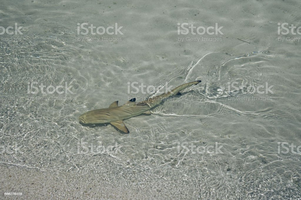 Baby shark in water, Maldives stock photo