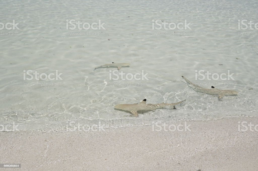 Baby sharks in water, Maldives stock photo