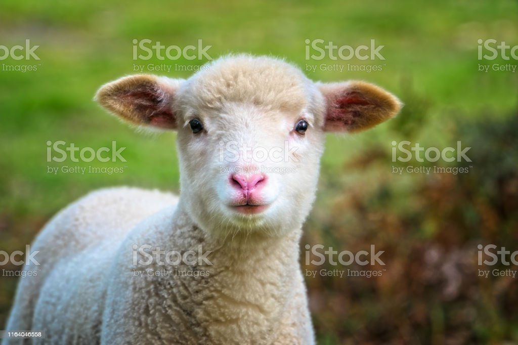 Baby Sheep close up - Royalty-free Agricultural Field Stock Photo