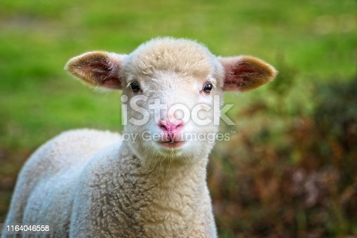 Close up portrait of a young lamb outdoors
