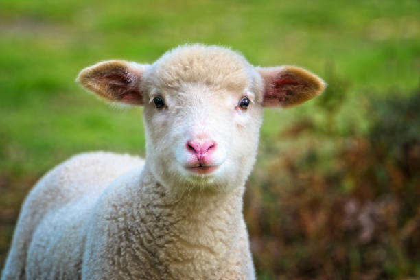 Baby Sheep close up stock photo