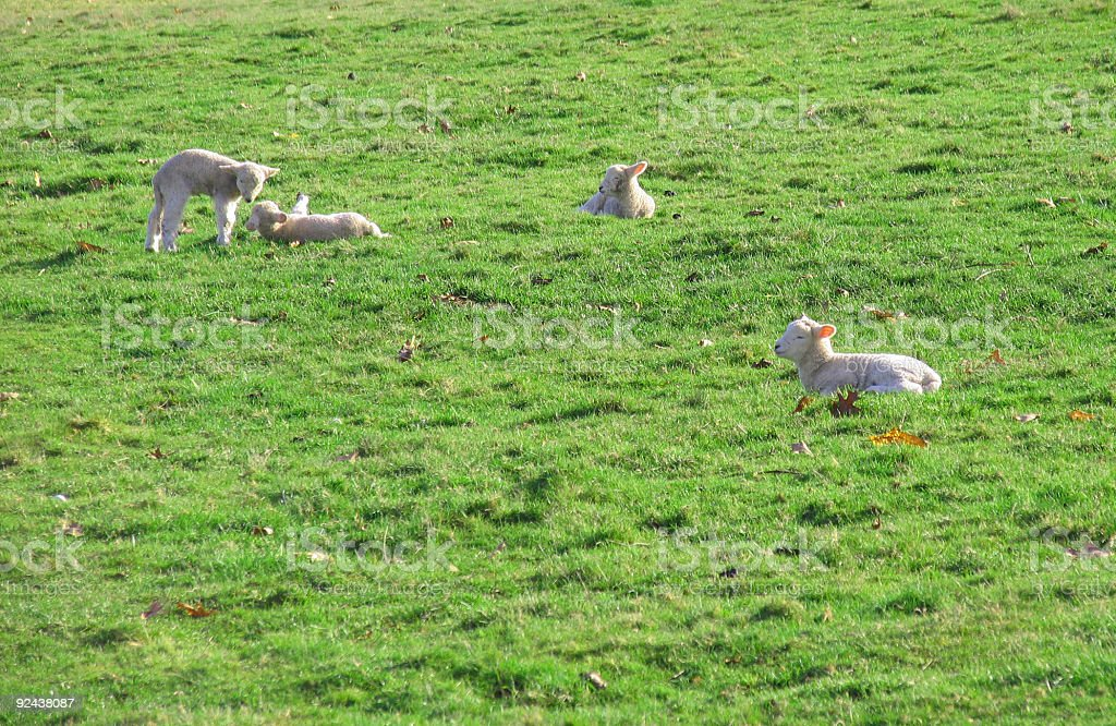 Baby Sheep Grazing in a Pasture royalty-free stock photo