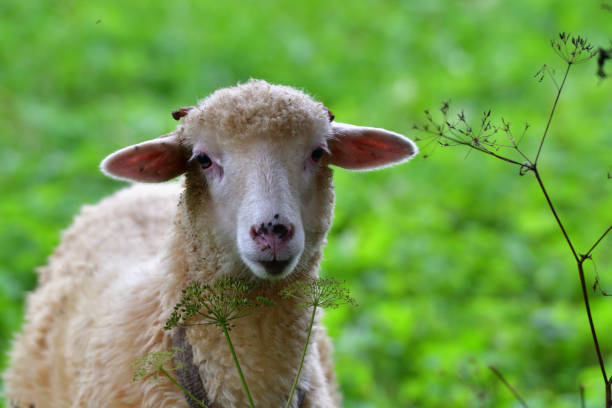 baby sheep lamb grazing the grass and leafs stock photo