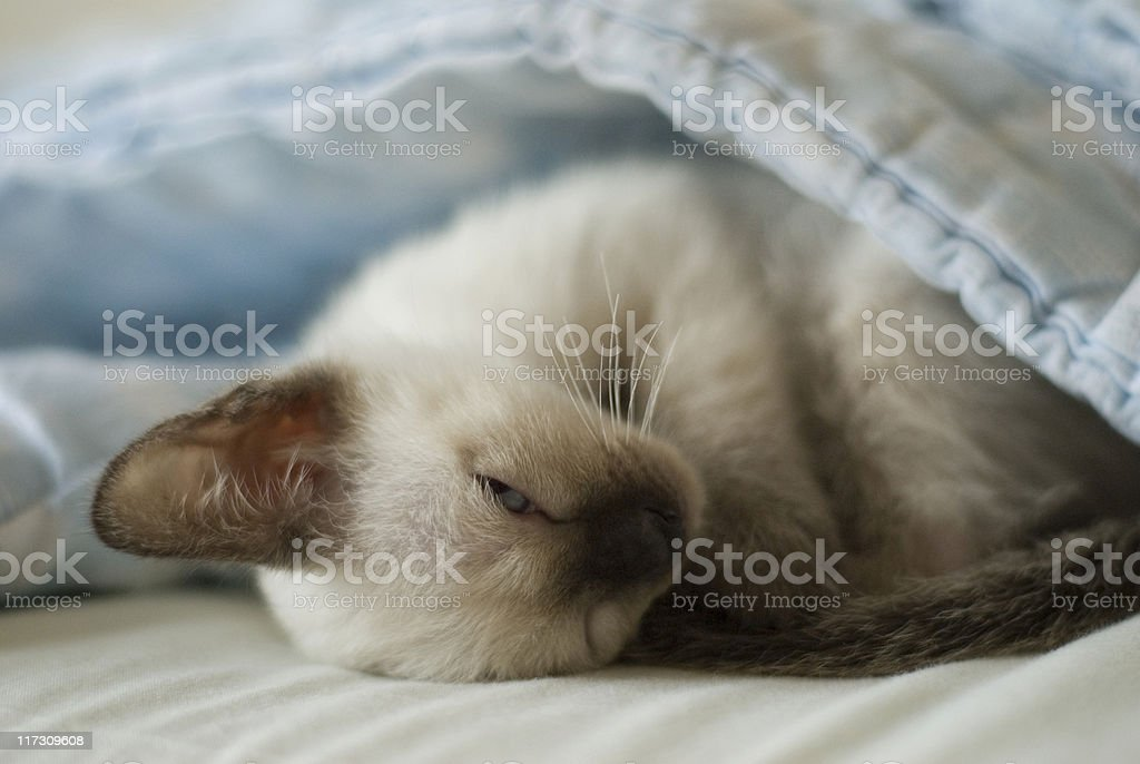 Baby Siamese Kitten series stock photo