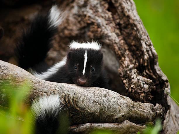 baby skunk in den. - skunk stock photos and pictures