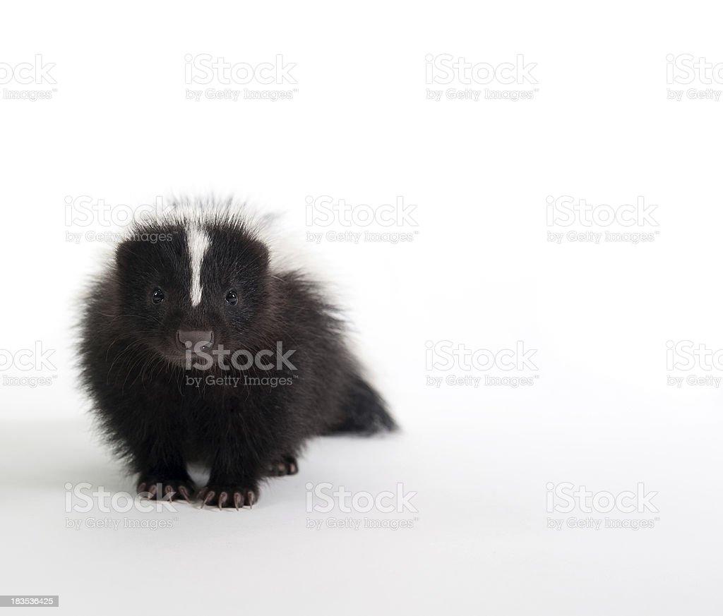 Baby Skunk on white royalty-free stock photo