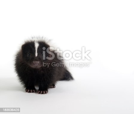 A baby skunk on a white background
