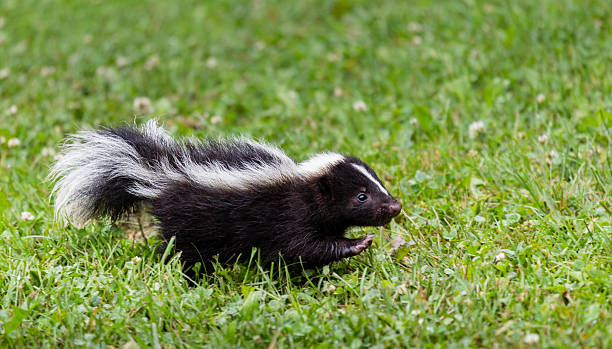 baby skunk - skunk stock photos and pictures