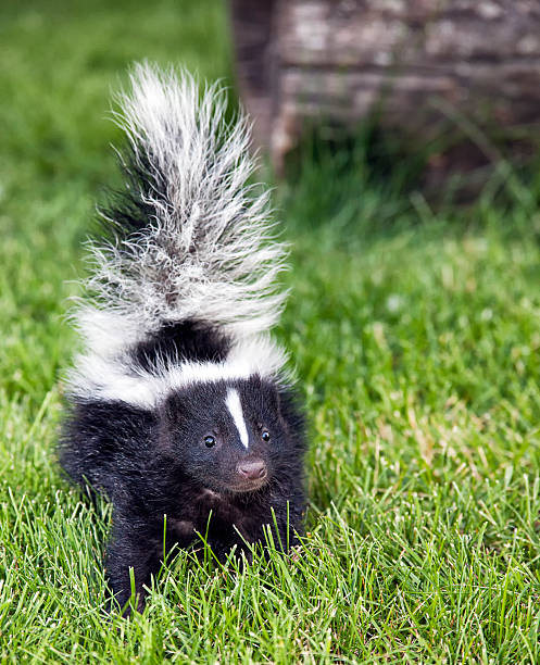 baby skunk walking outside in green grass - skunk stock photos and pictures