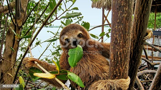 Cute baby three-toed sloth in the mangrove, Central America