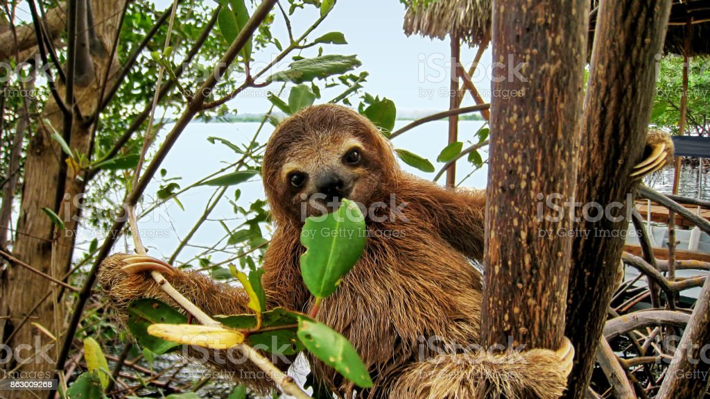 Baby sloth eating mangrove leaf stock photo