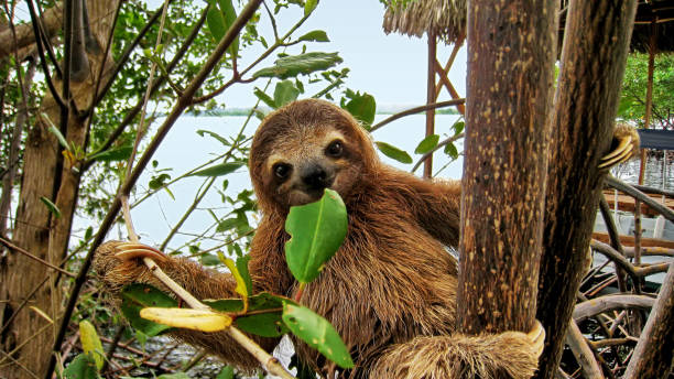 baby sloth eating mangrove leaf - sloth stock pictures, royalty-free photos & images