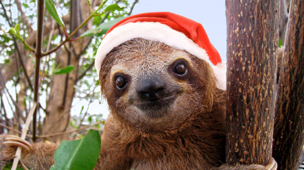 Baby sloth in red Santa Claus hat stock photo