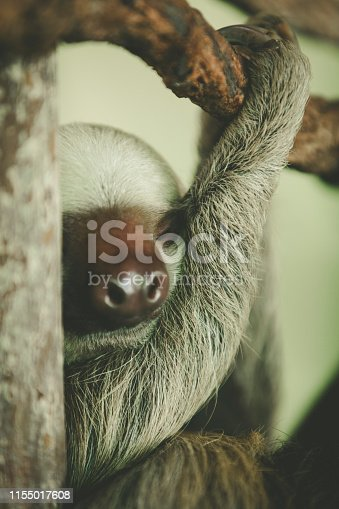 baby sloth is sleeping, gamboa rainforest in panama.