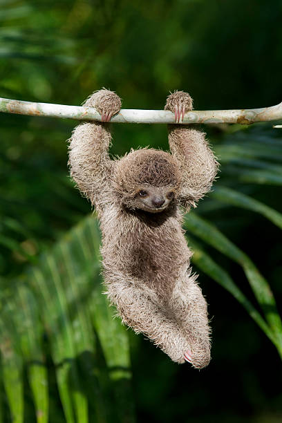 Baby Sloth stock photo