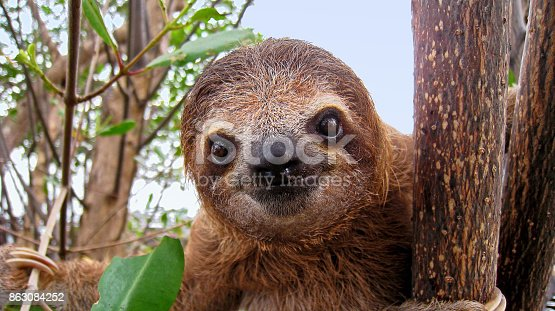 Cute face of young brown-throated sloth, Central America