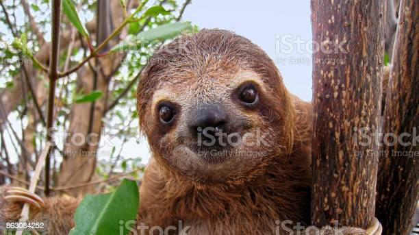 Baby sloth picture id863084252?b=1&k=6&m=863084252&s=612x612&h=91o3ctaxdlj6y1it5 5huo0ybhy620ixis2yl hh fk=