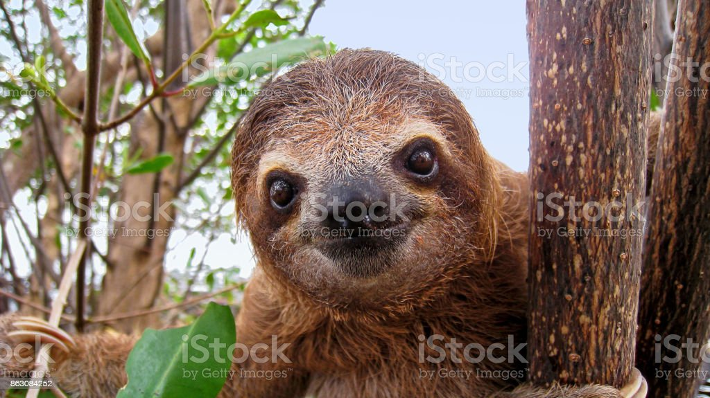 Baby sloth stock photo