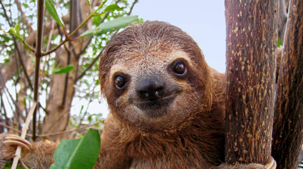 baby sloth - sloth stock pictures, royalty-free photos & images