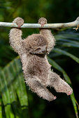 Baby Brown-throated sloth Swinging from branch - Three-toed Sloth