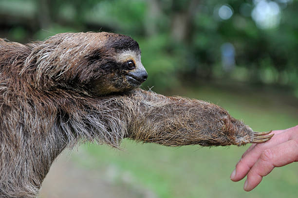 Baby sloth touching human hand, animal in Costa Rica stock photo