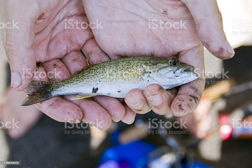 Baby Smallmouth Bass stock photo