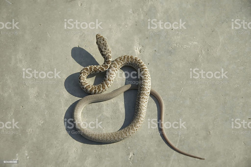 Baby Snake 2 royalty-free stock photo
