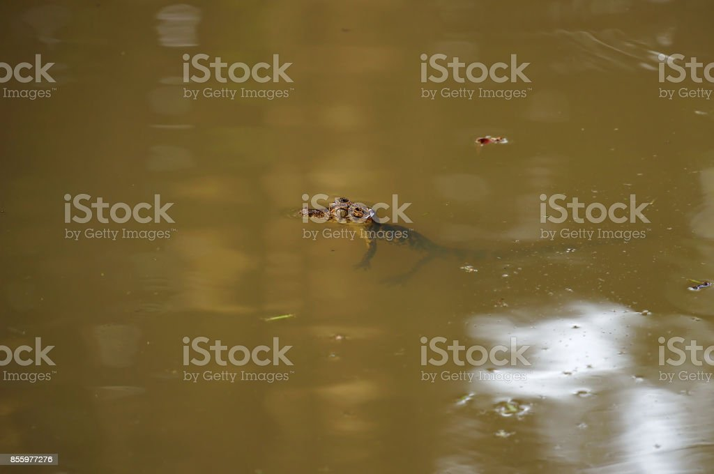 Baby Spectacled caiman on the water surface stock photo