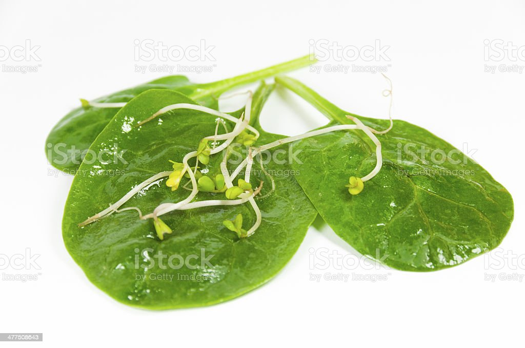 Baby Spinach and sprouds stock photo