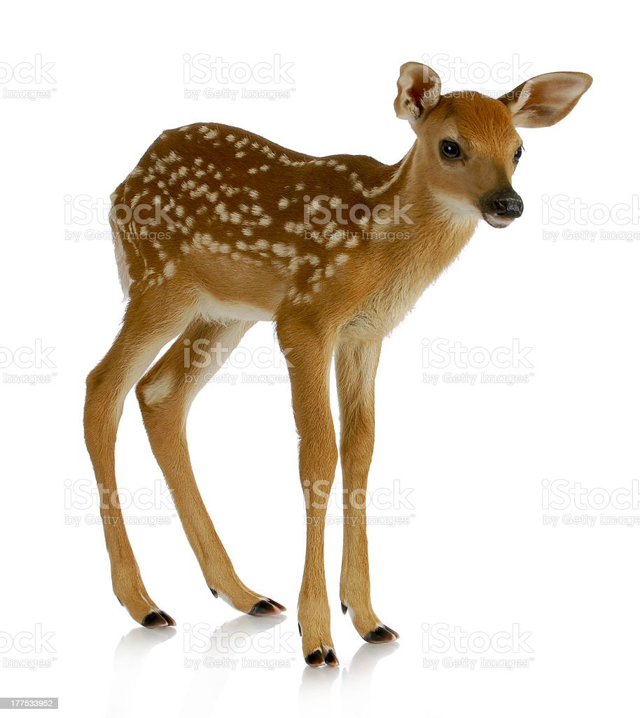 Baby spotted brown fawn standing on a white background stock photo