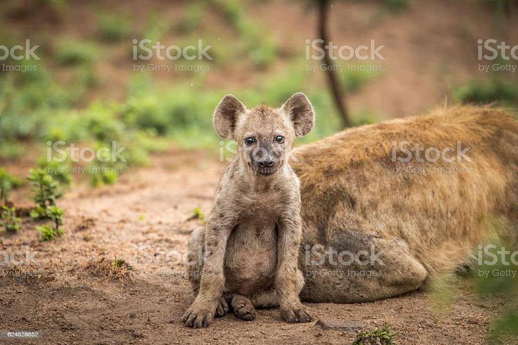 Baby Spotted hyena starring at the camera. stock photo