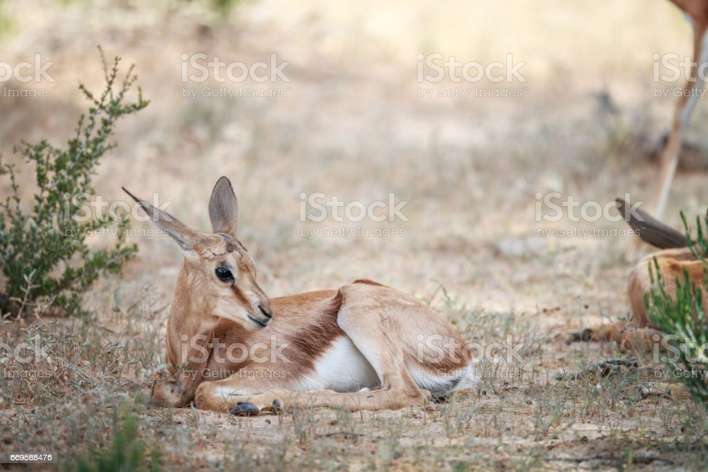 Baby Springbok laying in the grass. Baby Springbok laying in the grass in the Kgalagadi Transfrontier Park, South Africa. Adventure Stock Photo