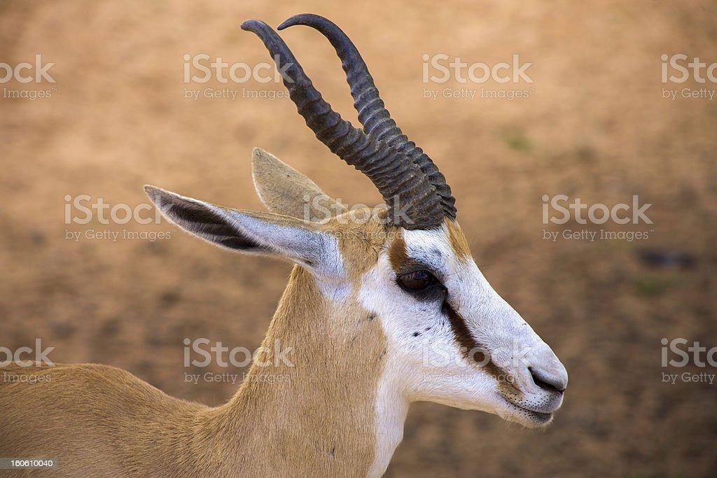 Baby Springbok royalty-free stock photo