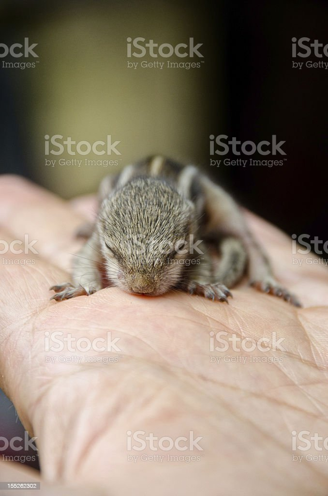 Baby squirrel on a hand royalty-free stock photo