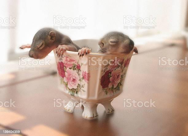 Baby squirrels picture id139404359?b=1&k=6&m=139404359&s=612x612&h=sdremkkotjcjwcgim6sdhqhnvu1k59vmqkvphvlvhxe=