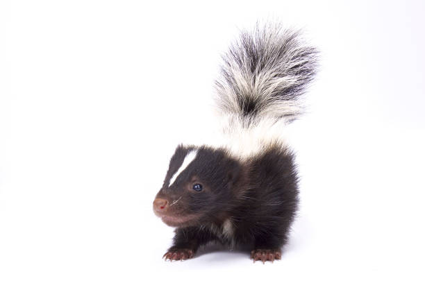 baby striped skunk, mephitis mephitis - skunk stock photos and pictures