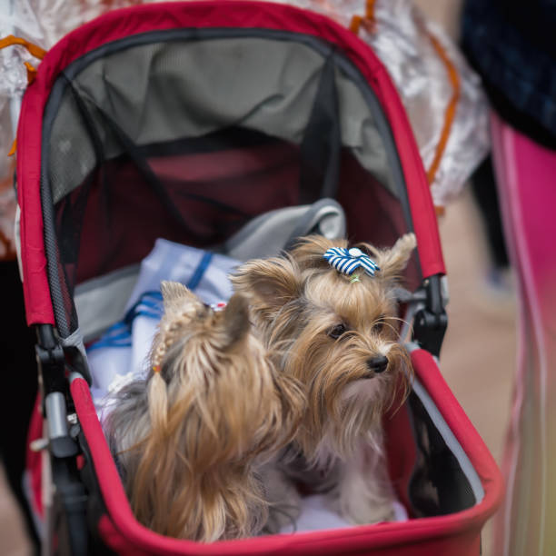 Baby stroller with two smartly dressed yorkshire terriers selective picture id807470860?b=1&k=6&m=807470860&s=612x612&w=0&h=wupocitnv6wnjpwc4io1atgd kf 9xnufue1iuwccfi=