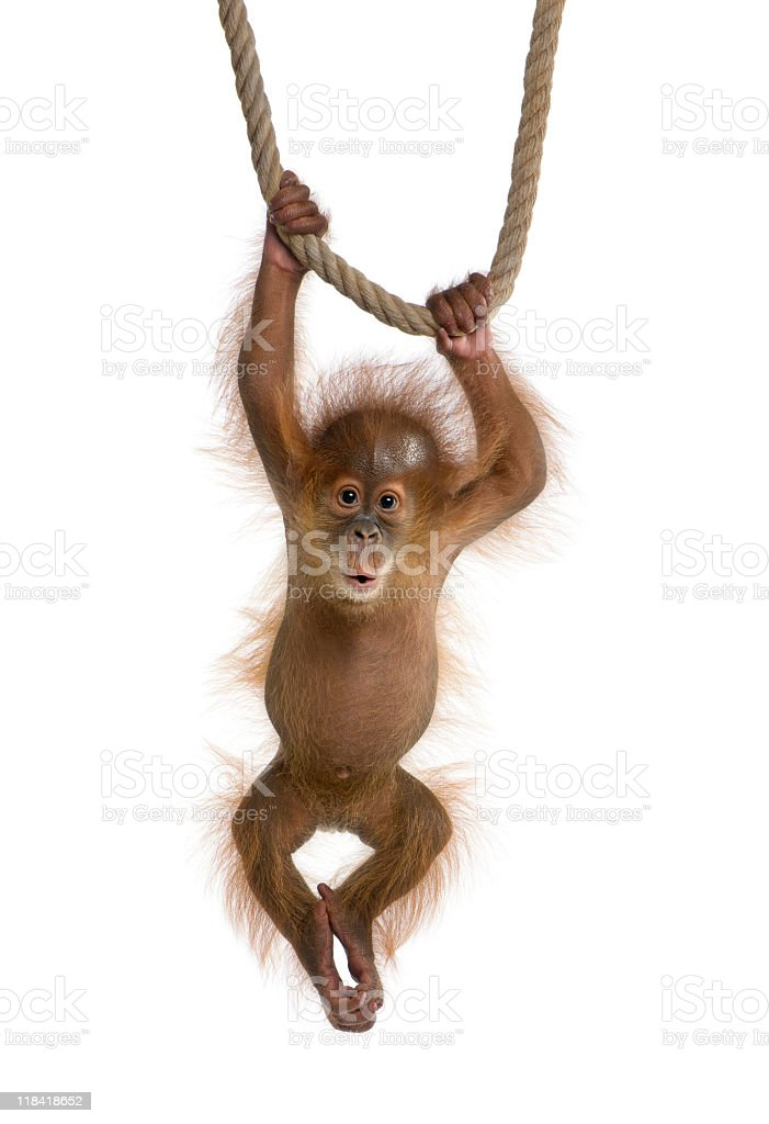 A baby Sumatran orangutan hanging from a rope stock photo