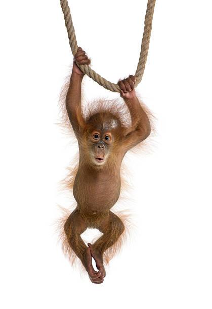 Baby-Sumatra-Orang Utan hängen am Seil auf weißem Hintergrund. – Foto