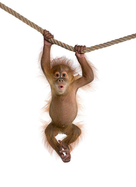 baby sumatran orangutan hanging on a rope against white background - monkey stock photos and pictures