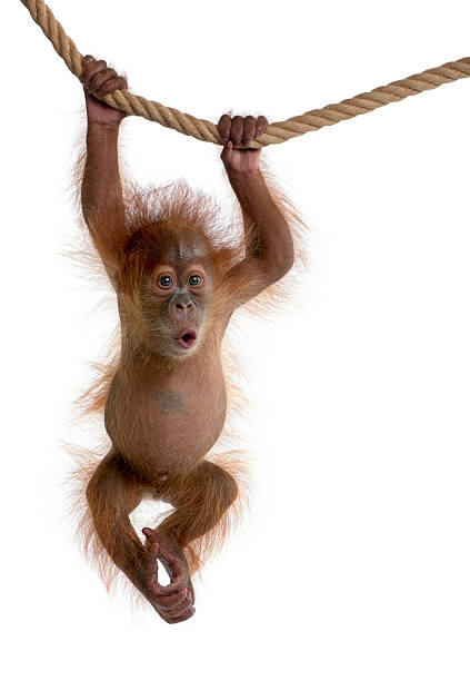 baby sumatran orangutan hanging on rope against white background - ape stock pictures, royalty-free photos & images
