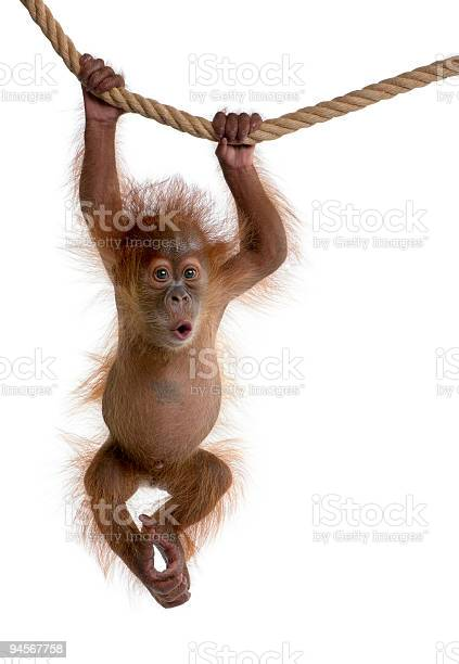 Baby Sumatran Orangutan Hanging On Rope Against White Background Stock Photo - Download Image Now