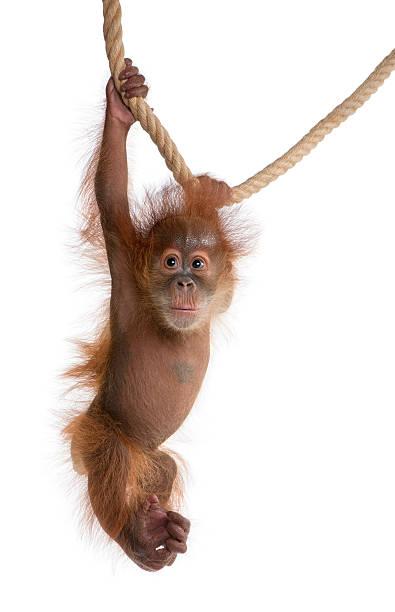 bebé orangután de sumatra montaje en cable contra fondo blanco - mono fotografías e imágenes de stock