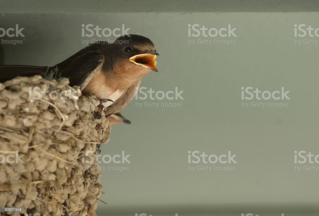 Baby Swallow in nest stock photo