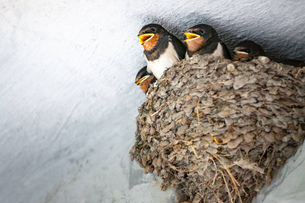 Baby swallows in nest stock photo